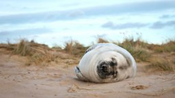 Image for Grey Seals of Blakeney