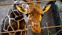 Image for Marius the Giraffe: Zoogenics?