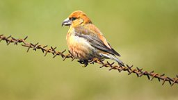Image for Crossbills