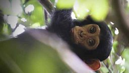 Baby chimp peaks through the canopy