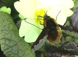 A Dark Edged Bee-Fly taking time out for a snack