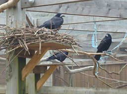 Rooks at Nest in Aviary