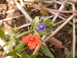 The Blue Pimpernel next to the Scarlet Pimpernel
