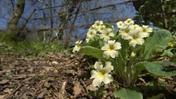March In Bloom – Primrose