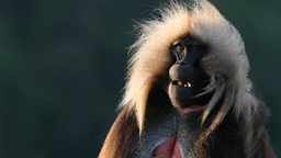 Photo: Gelada baboon