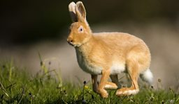 Rathlin's Golden Hares