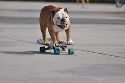 Tillman the skateboarding dog