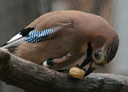 Eurasian Jay in Aviary