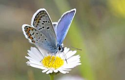 Silver-studded blue butterfly feeding