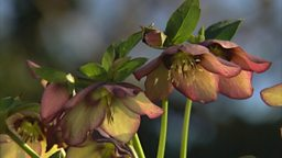 HELLEBORES