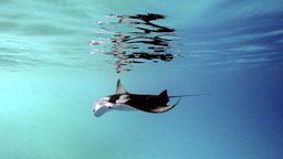 Photo: Juvenile manta