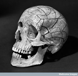 Human skull with phrenological markings