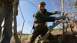 Native hedge – Woodsman, Marcus Tribe, lays Carols hedge.
