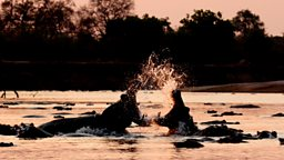 Photo: Fighting Hippos