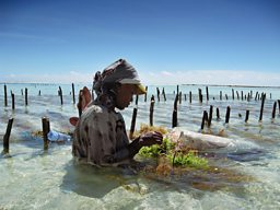 Woman picking farmed seaweeds in Zanzibar