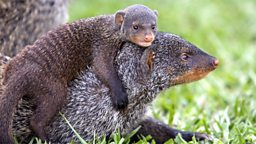 Photo: Mongoose pup