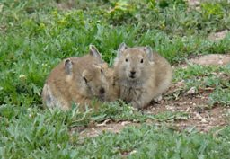 A pair of Plateau Pika