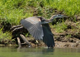 A blue heron on the Delta