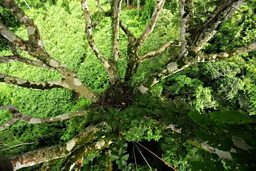 A view from above the Harpy Eagle nest