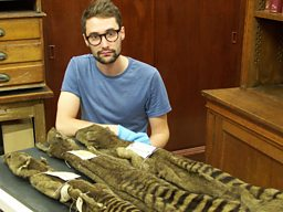 Reporter Nick Crumpton with Thylacine skin at University Museum of Zoology, Cambridge