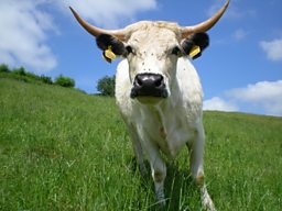 ADAM'S FARM: WHITE PARK CATTLE