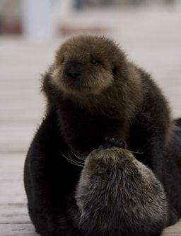 Sea Otter mother holds up newborn pup