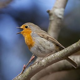 Bird Watch: Robin