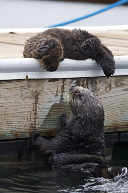 Sea Otter pup rests on dock