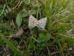 Adonis Blue butterfly pair