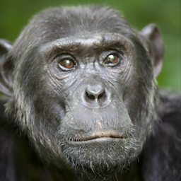 Brutus, leader of the Gorge Chimps