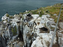 The view while broadcasting on the Farne Islands - shag, guillemot, razorbill, kittiwake