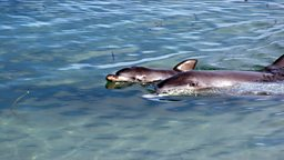 Baby and mother bottlenose dolphin