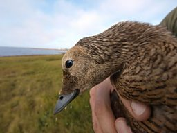 Close up of a female Eider duck