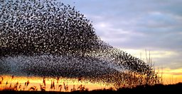 Starlings Come Home To Roost