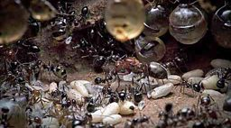 Inside the honey ant nest