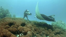 Photo: Manta ray at cleaning station