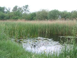 Reeds lining the lode at Wicken Fen
