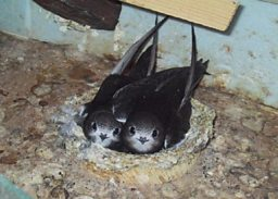 Swifts in a nest