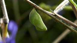 Speckled wood chrysalis
