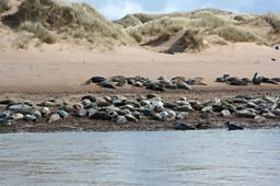 Seals on the Ythan Estuary