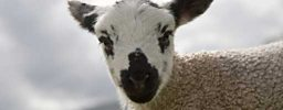 Downloadable image: Spring Lamb
