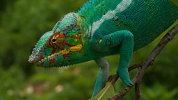 Panther chameleon