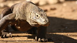 Komodo dragon stalking