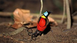 Photo: Wilson's Bird of Paradise