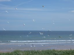Arctic Turns in flight, Northumberland coast