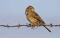Corn Bunting - One of the 'Big Six' of Britain's farmland birds