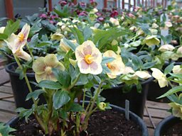 The 'Satellite Dish' Hellebore