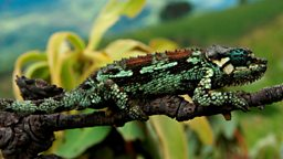 Photo: Kitulo chameleon