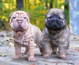 Two Chinese Shar-Pei littermates, one showing extensive skin wrinkling.