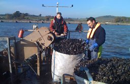 Mussel harvesting on the Exe